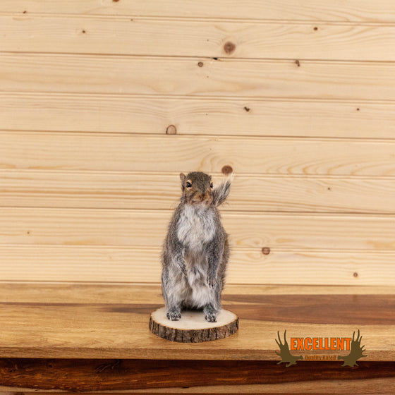lifesize full body gray grey squirrel taxidermy mount for sale