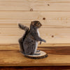 Gray Squirrel Lifesize Full Body Taxidermy Mount SW10380
