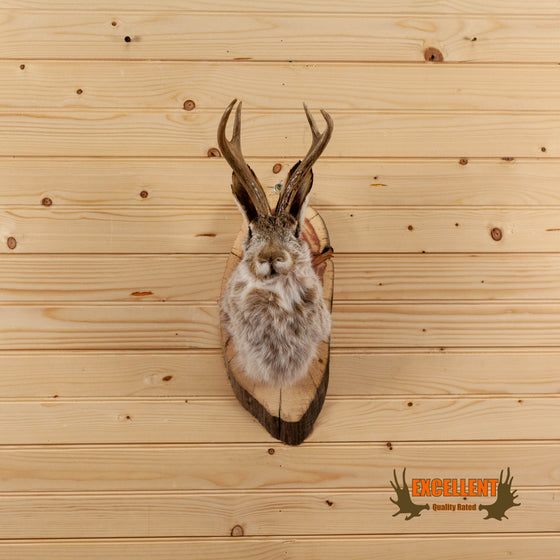 jackalope whitetail antlers taxidermy shoulder mount for sale