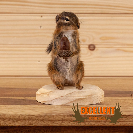 chipmunk with acorn full body taxidermy mount for sale safariworks decor