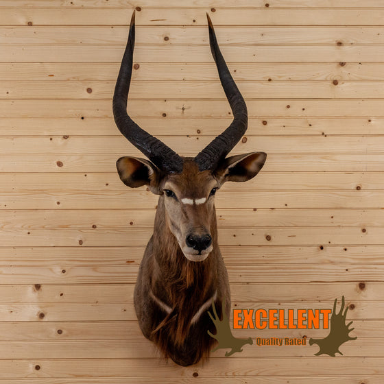 african nyala taxidermy shoulder mount for sale safariworks decor