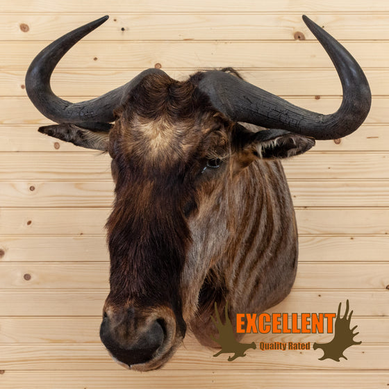 african blue wildebeest taxidermy shoulder mount for sale safariworks decor