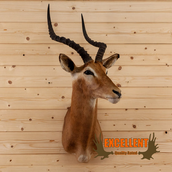 african impala taxidermy shoulder mount for sale safariworks decor