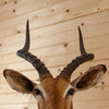 African Impala Taxidermy Mount SW10405