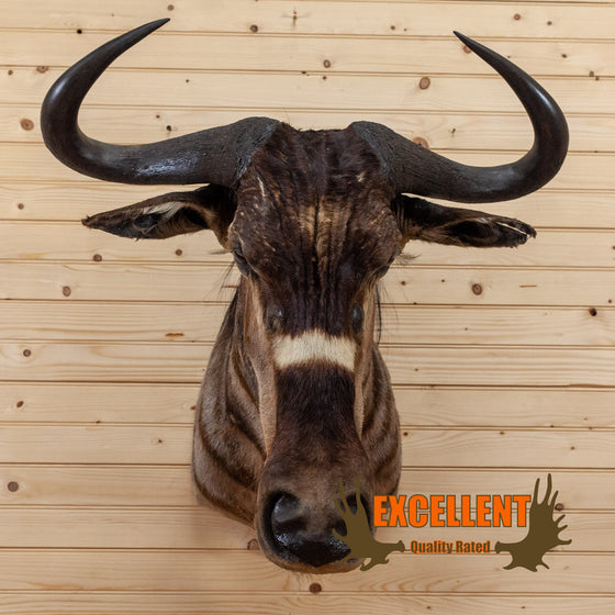 african nyasa wildebeest taxidermy shoulder mount for sale safariworks decor