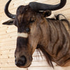 Excellent African Nyasa Wildebeest Taxidermy Shoulder Mount SW10407