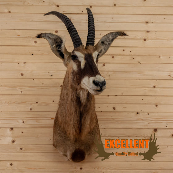 african roan antelope taxidermy shoulder mount for sale safariworks decor