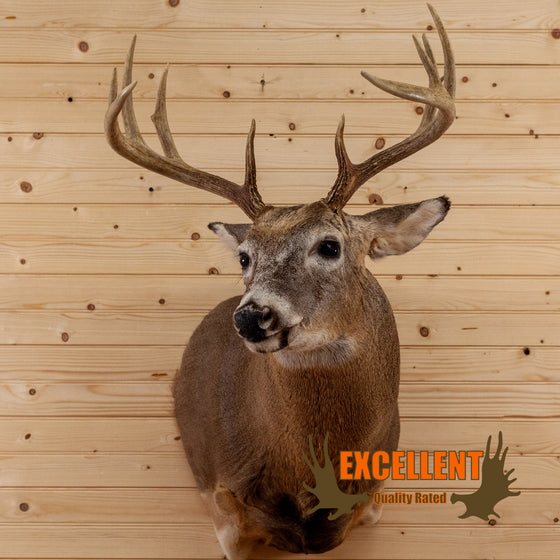 whitetail buck deer taxidermy shoulder mount for sale safariworks decor