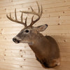Excellent 10 Point Whitetail Buck Deer Taxidermy Shoulder Mount SW10409