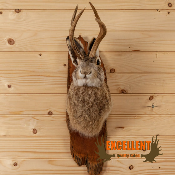 jackalope taxidermy shoulder mount for sale safariworks decor