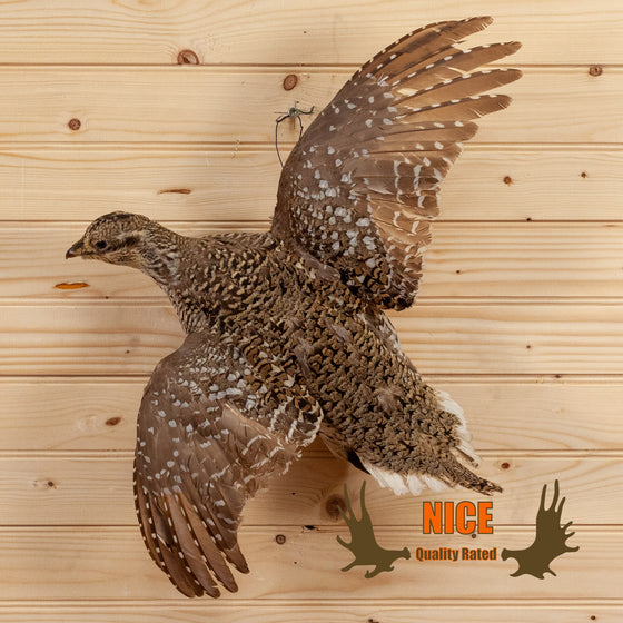 sharp-tailed sharptail fire grouse flying left taxidermy mount for sale safariworks decor