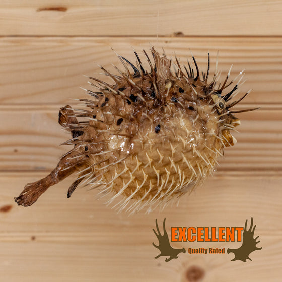 porcupinefish blowfish taxidermy mount for sale safariworks decor