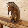 Nice Groundhog Woodchuck Taxidermy Mount SW10416