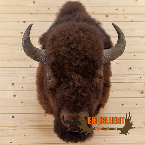 large american bison taxidermy shoulder mount for sale safariworks decor
