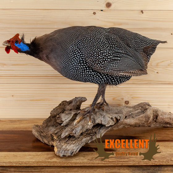helmeted guinea fowl full body taxidermy mount for sale safariworks decor