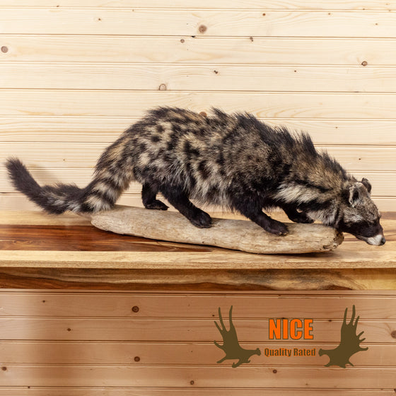 african civet cat full body lifesize taxidermy mount for sale