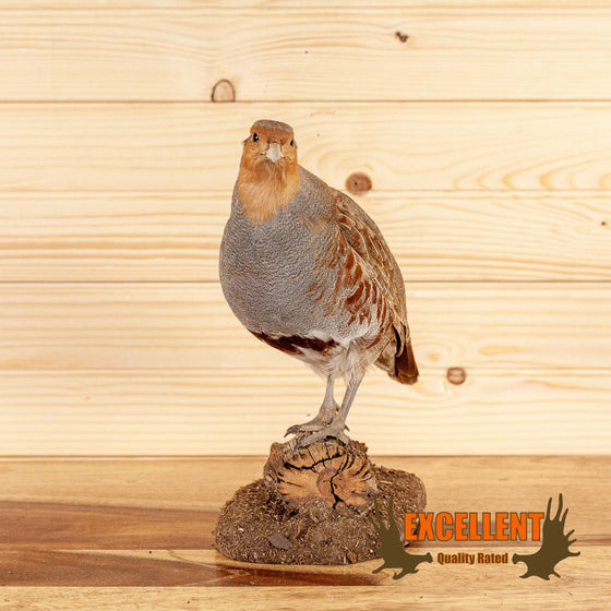 hungarian partridge taxidermy mount for sale safariworks decor