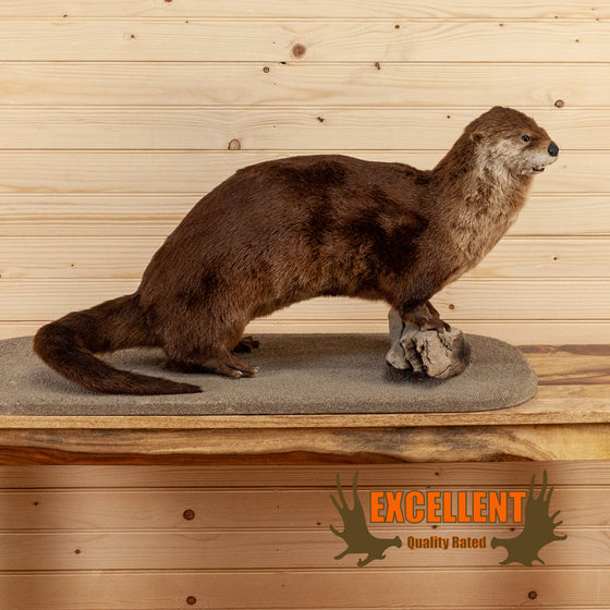 river otter full body taxidermy mount for sale safariworks decor