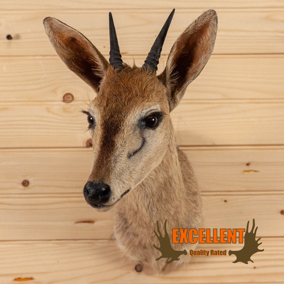african duiker taxidermy shoulder mount for sale safariworks decor