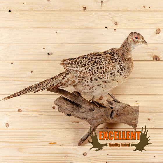 perched ringneck hen pheasant taxidermy mount for sale safariworks decor