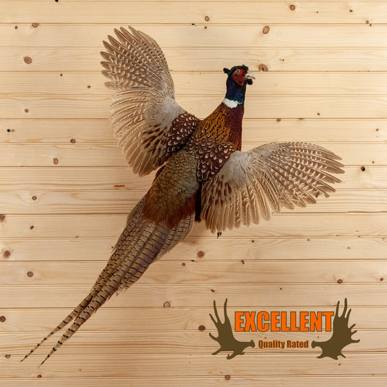 ringneck pheasant flying taxidermy mount for sale safariworks decor