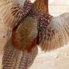Excellent Flying Ringneck Pheasant Taxidermy Mount SW10436