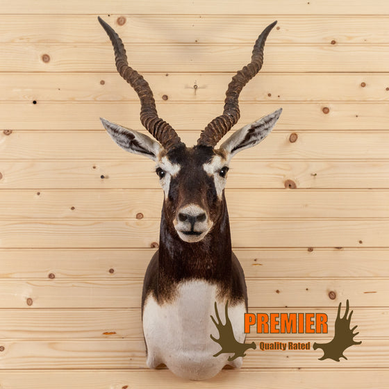 blackbuck antelope taxidermy shoulder mount for sale safariworks decor