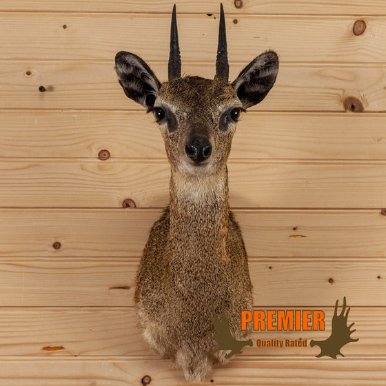 klipspringer taxidermy shoulder mount for sale safariworks decor