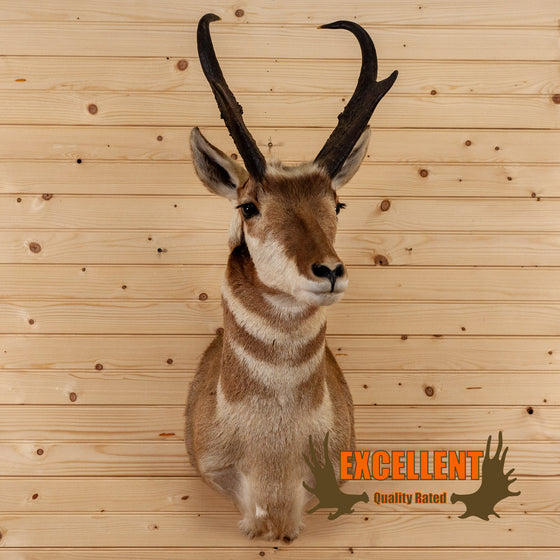pronghorn antelope taxidermy shoulder mount for sale safariworks decor