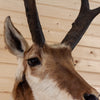 Excellent Pronghorn Antelope Taxidermy Shoulder Mount SW10449