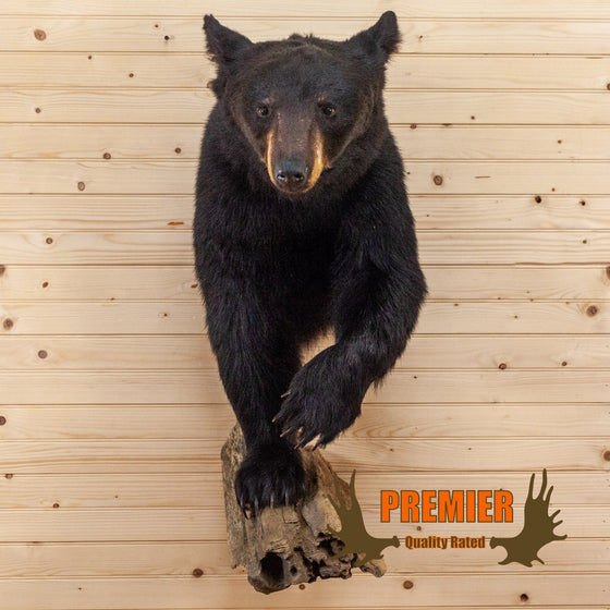 half body black bear taxidermy mount for sale safariworks decor