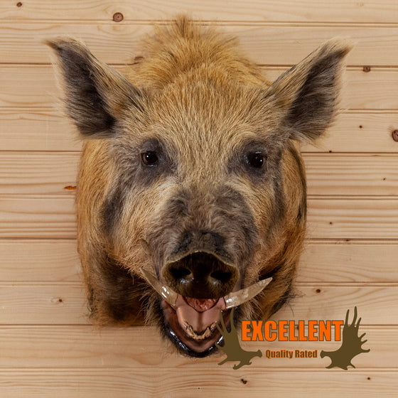 wild boar pig hog taxidermy shoulder mount for sale safariworks decor
