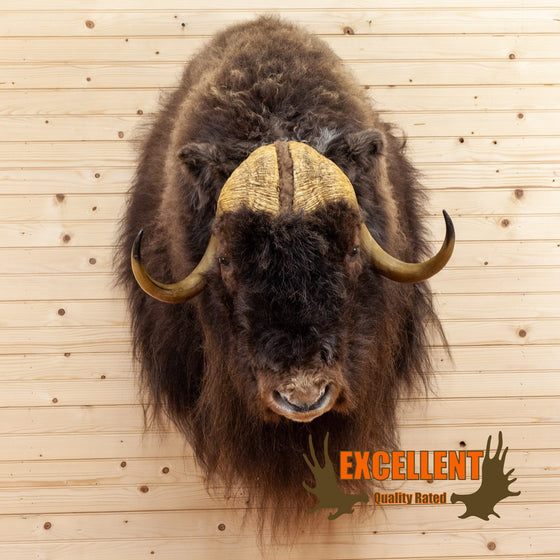 muskox taxidermy shoulder mount for sale safariworks decor