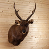 Excellent Sambar Rusa Deer Taxidermy Shoulder Mount SW10459