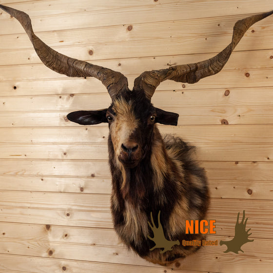 spanish catalina goat taxidermy mount for sale safariworks decor