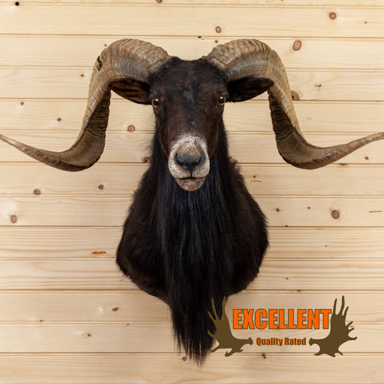 black hawaiian mouflon sheep taxidermy mount for sale safariworks decor