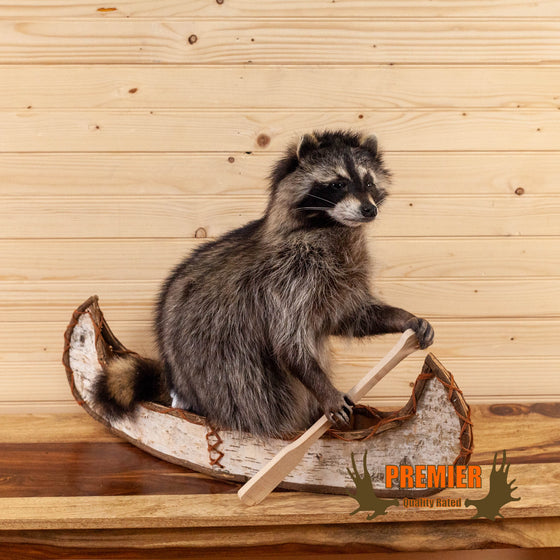 raccoon in birch bark canoe taxidermy mount for sale