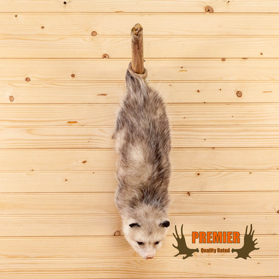 opossum hanging from branch taxidermy mount for sale