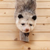 Opossum on Branch Full Body Taxidermy Mount SW10494