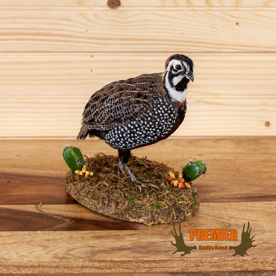 montezuma mearn's quail full body taxidermy mount for sale