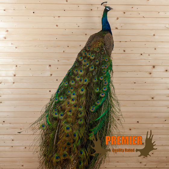blue indian peacock full body taxidermy mount for sale safariworks decor