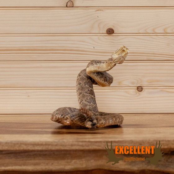 western diamondback rattlesnake taxidermy for sale