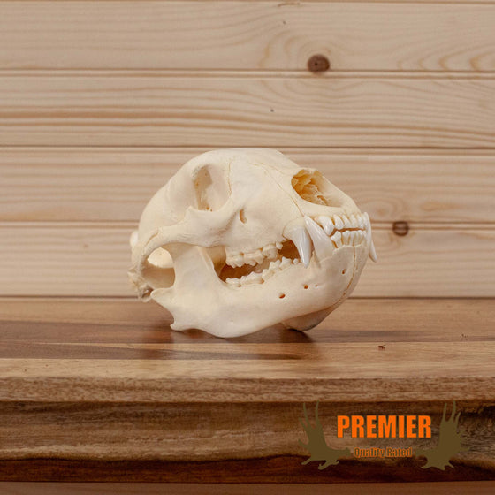 american black bear skull for sale