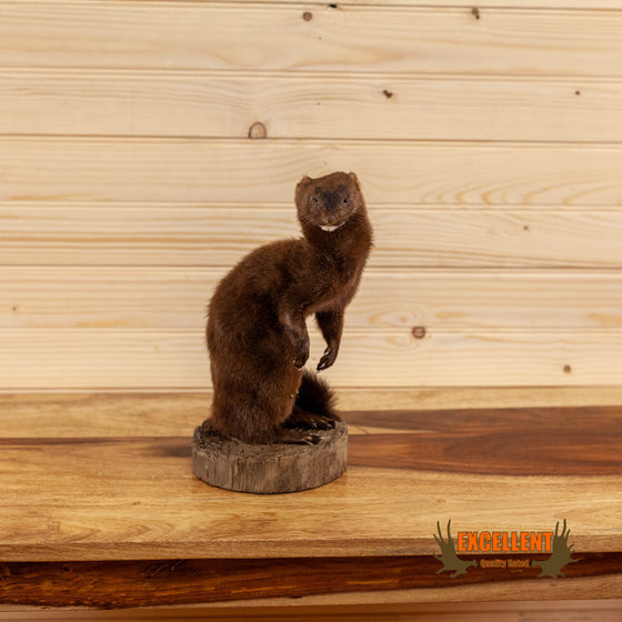 north american mink full body taxidermy mount for sale