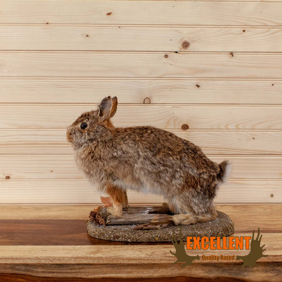 cottontail rabbit full body taxidermy mount for sale