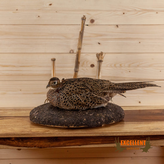 Female Ringneck Pheasant Hen Taxidermy Mount SW6644