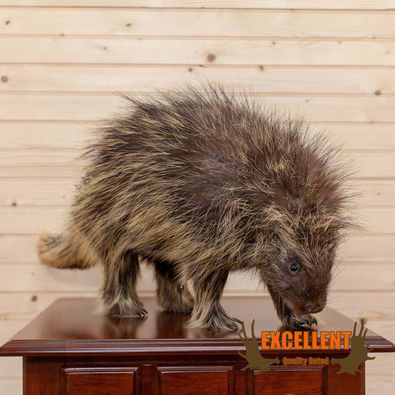 large porcupine full body taxidermy mount