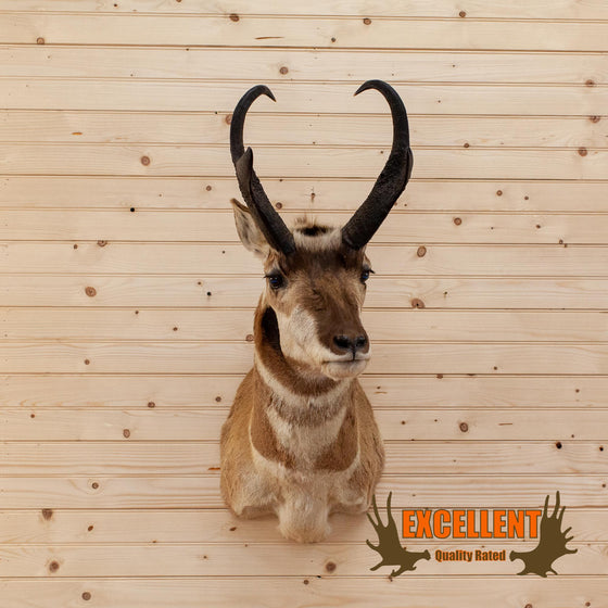 Pronghorn Antelope Taxidermy Shoulder Mount SW6659