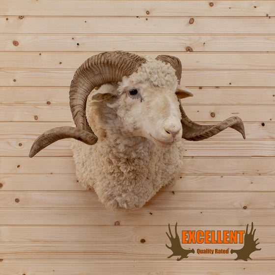 barbarossa merino sheep ram taxidermy shoulder mount for sale