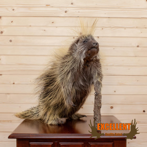 Full Body Porcupine Taxidermy Mount - SW6672